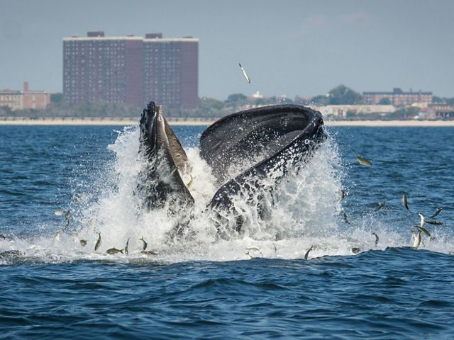 Whales have returned to New York! Help us protect them.