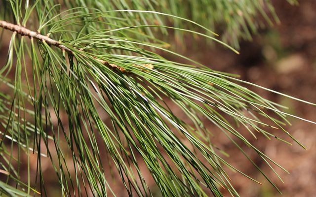 Eastern White Pine Needles
