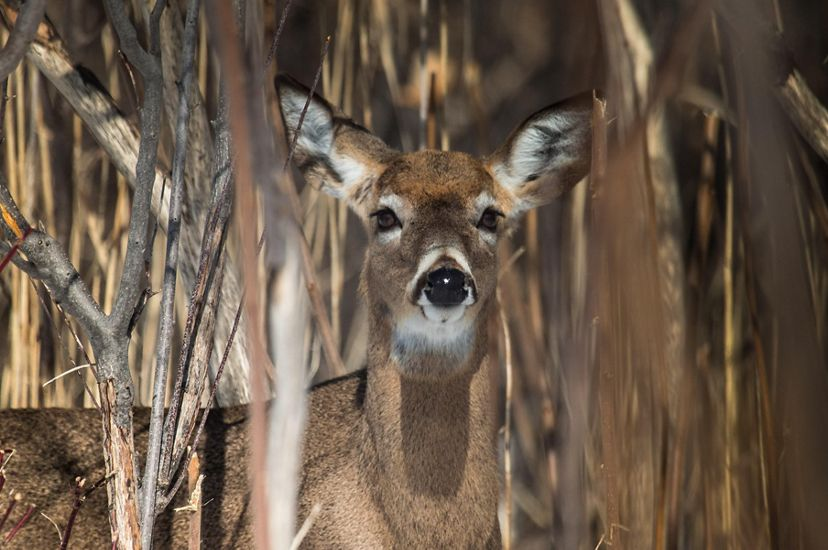 A deer stands looking at the camera while camouflaged by brown stems and branches.