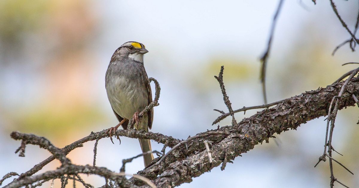 A brownish bird with black and white stripes on the top of its head, a white throat and a yellow patch above each eye.