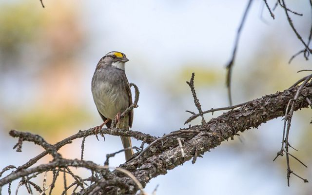 Petite gray bird with a white throat and a yellow splash about it's eye, sitting on a ragged dark gray branch.
