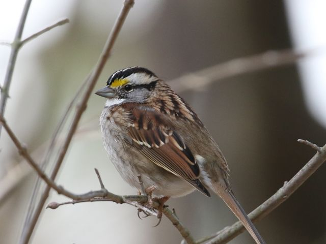 A white throated sparrow is perched in a bare tree.