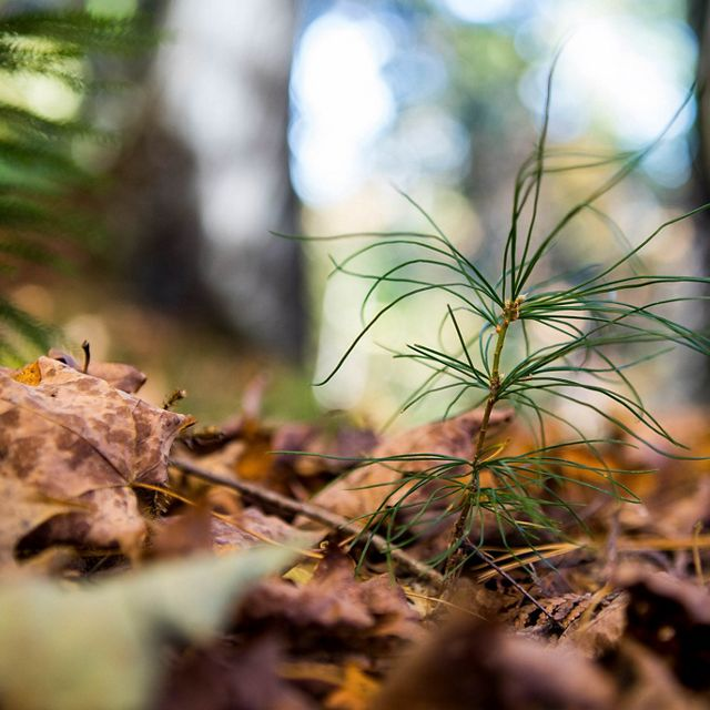 A tiny white pine emerging from the forest floor at Upper Manitou Forest Preserve.