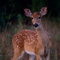 spotted brown deer stares at the camera
