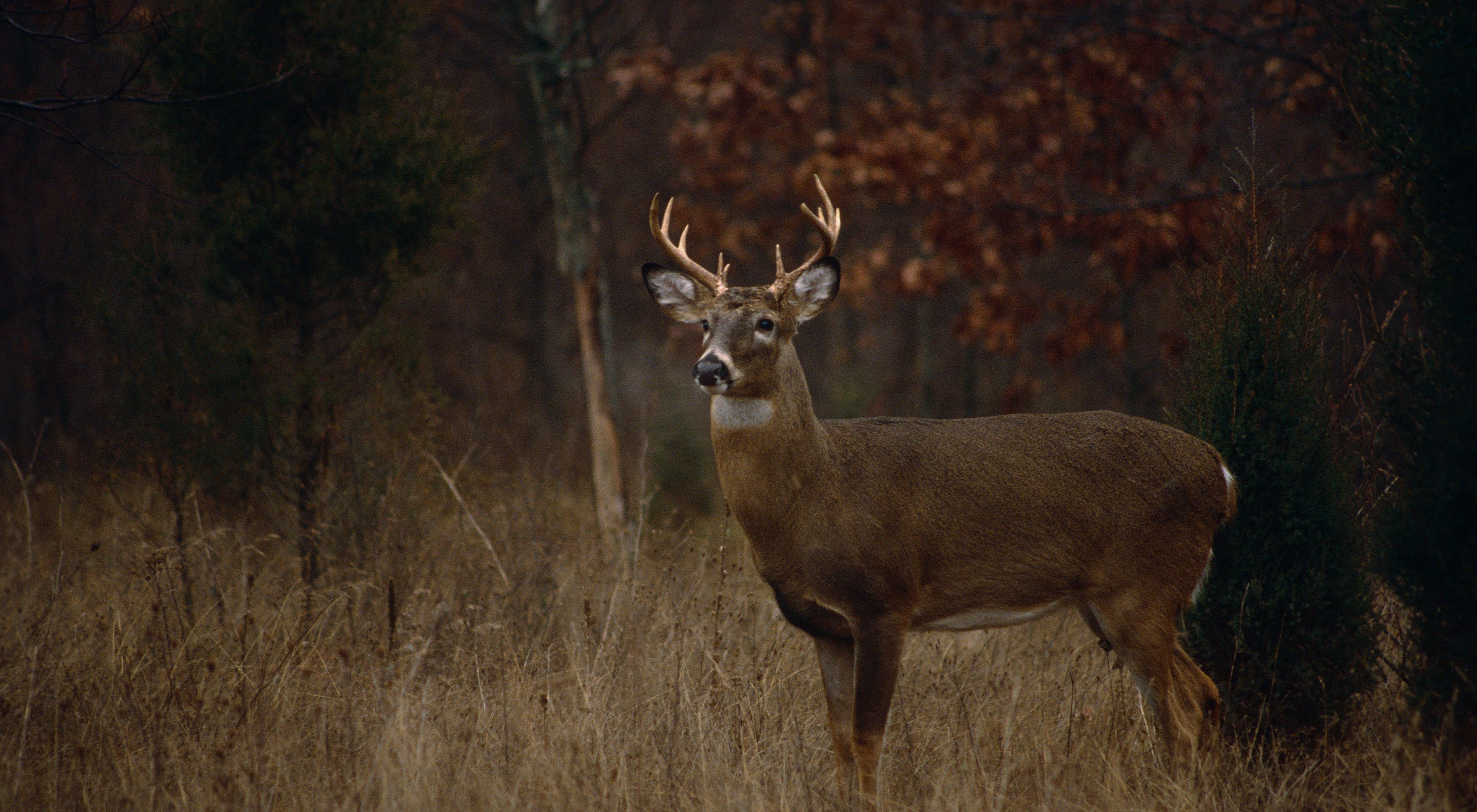 A male whitetail deer stands in a field.