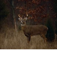 Whitetail deer, a buck in Autumn rut.