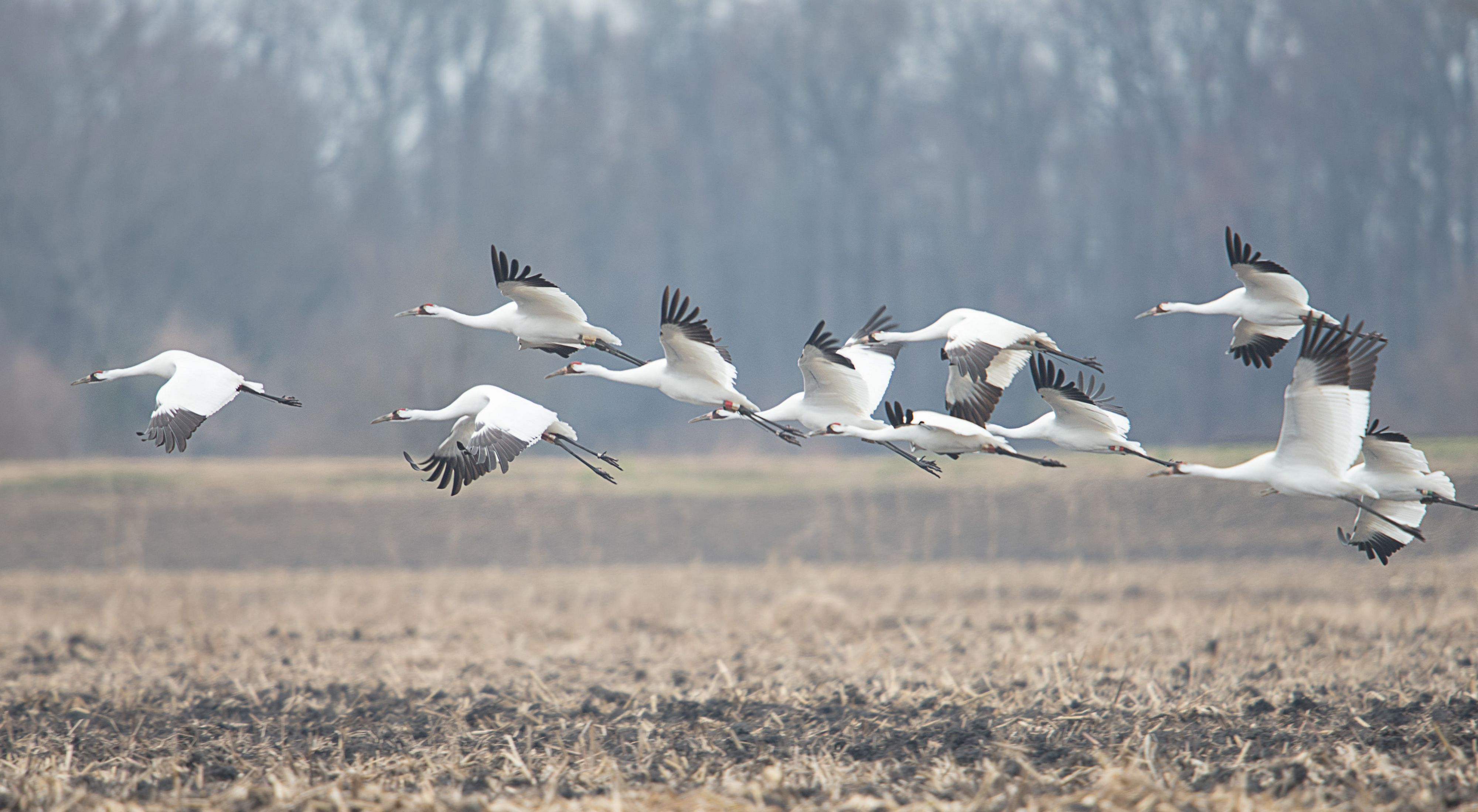 Photo of whooping cranes in flight over a field.