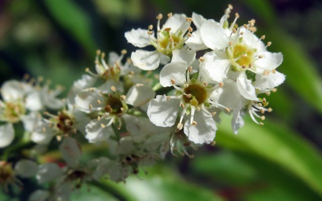 A branch is thickly covered with white blossoms. Each bloom has five petals arrayed around a yellow center.