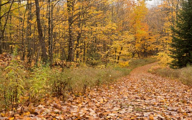 Autumn leaf-covered trail through colorful forest.