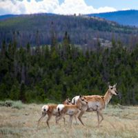 Antelope and her two fawns cross prairie in front of mountains.