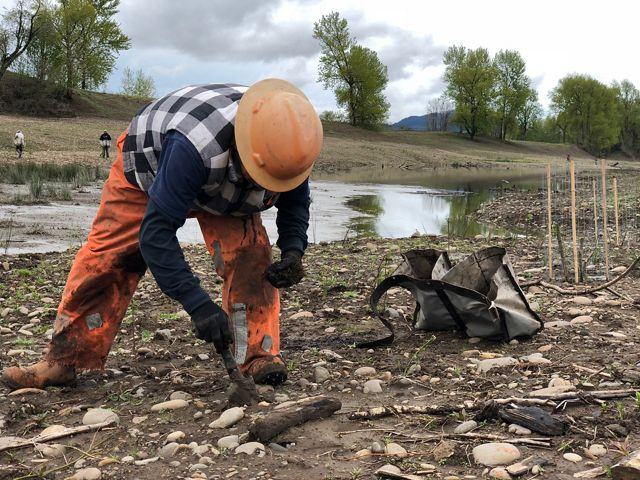 The transformation of a series of gravel mines to a floodplain forest led crews to plant more than 330,000 native trees and shrubs at the Willamette Confluence Preserve