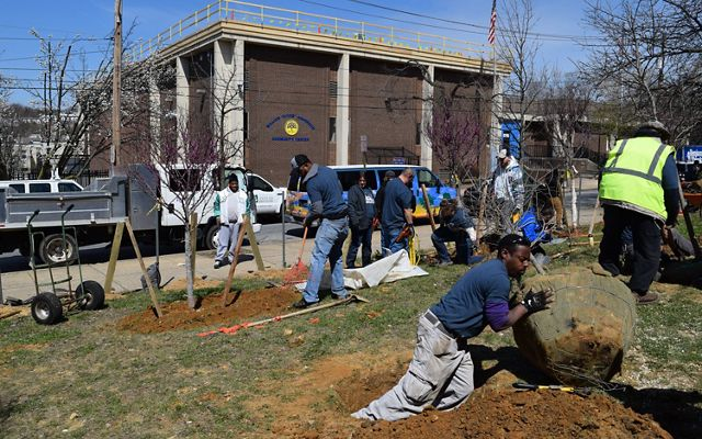 A group of people work together to plant trees in an urban lot. A man in the foreground rolls a large sapling into a hole.