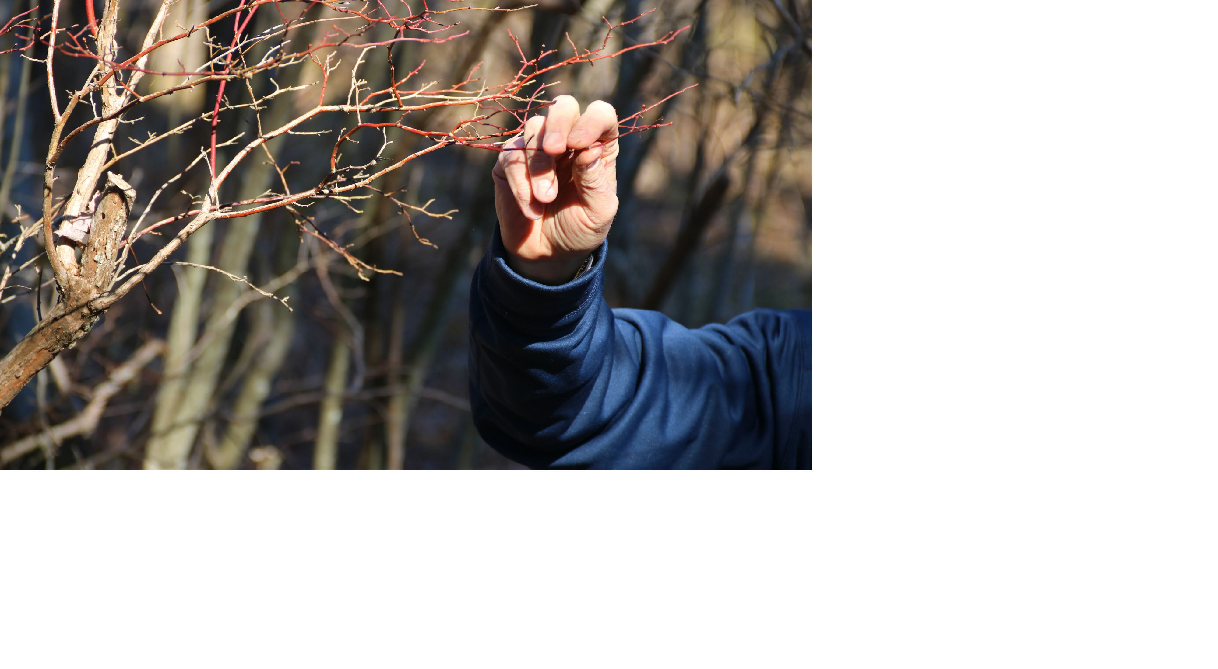 A hand holds up a blooming branch..