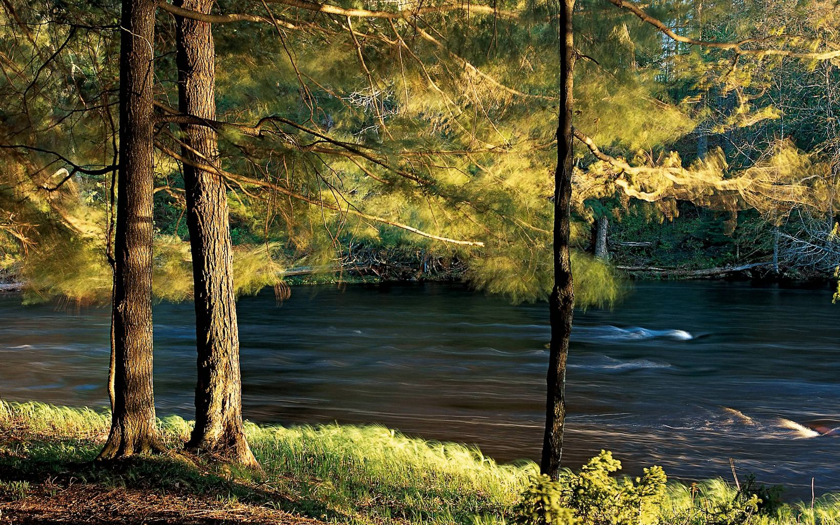 Close-up of river flowing past pine and other conifer trees in northern Wisconsin.