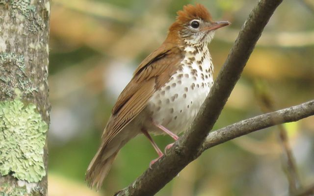 A wood thrush in the forest.