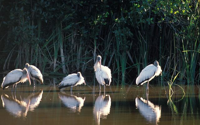 Five wood storks stand in shallow water with marsh grasses in the background.