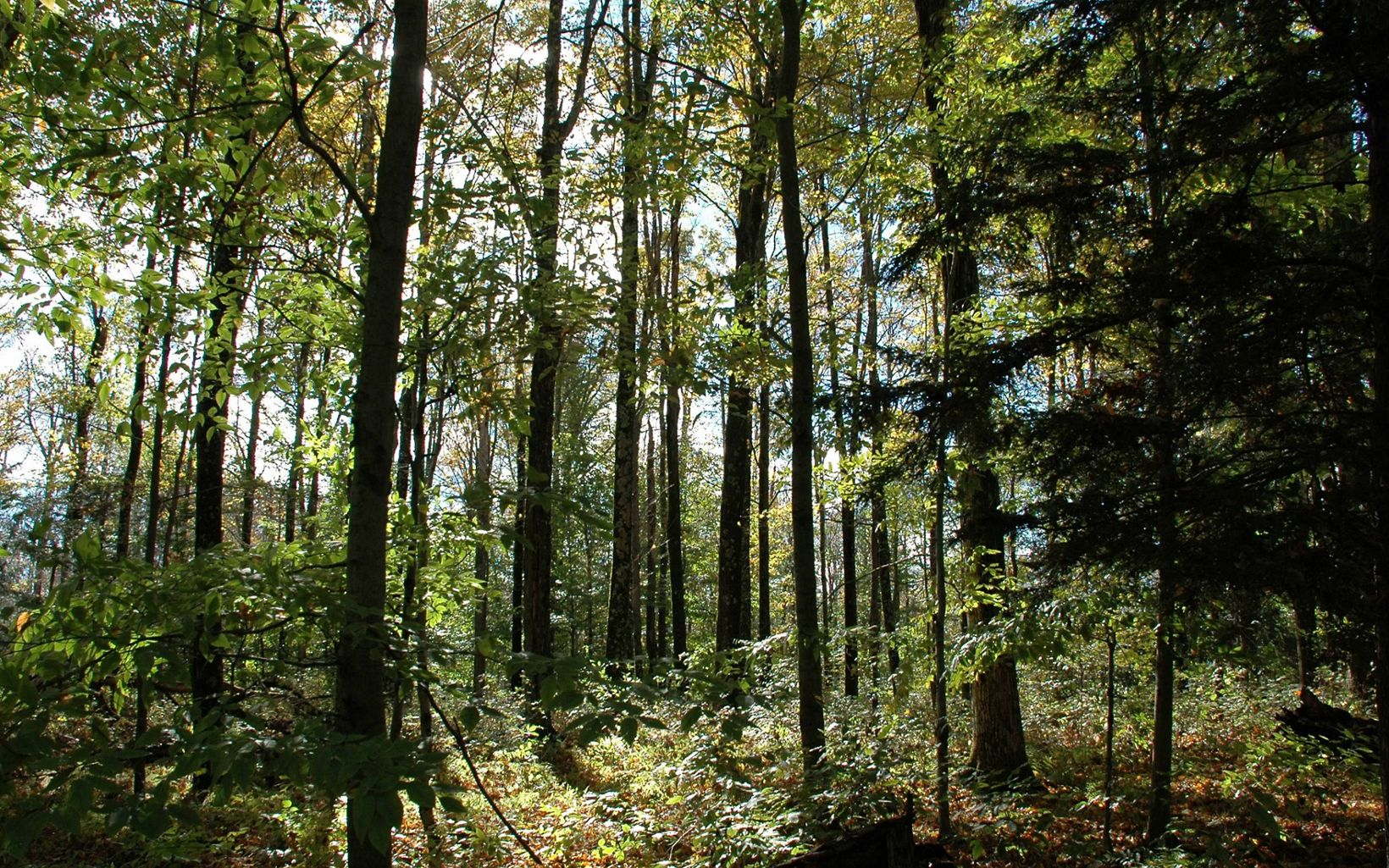 Old-growth hemlocks at the Woodbourne Forest Preserve.