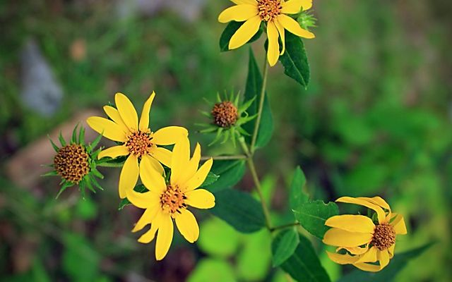 Four yellow blossoms of slender petals radiating around a tight orange center.