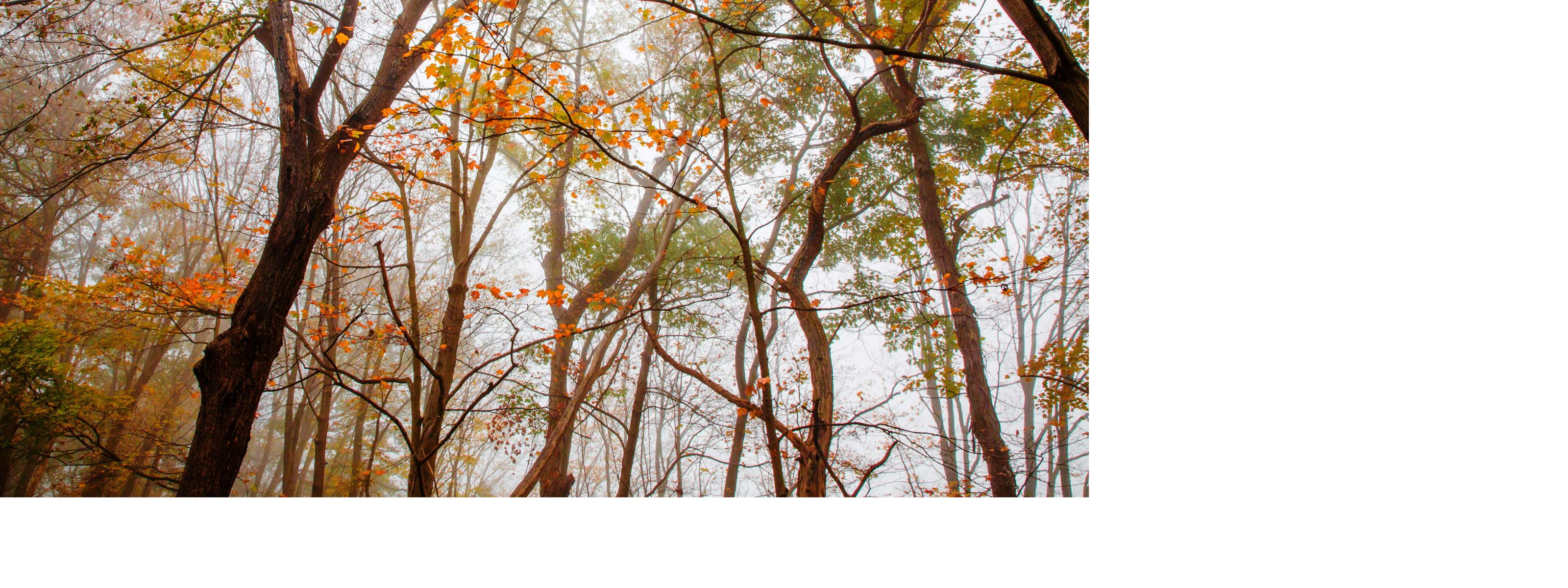 A canopy of orange leaves stand out against a gray sky.