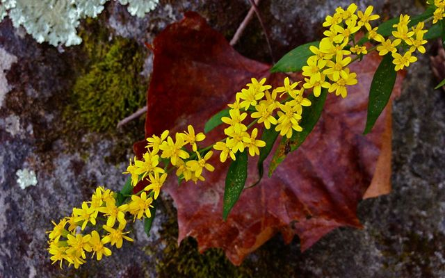 A thin branch is studded with small yellow flowers. The branch extends over a rocky patch of lichen covered ground.