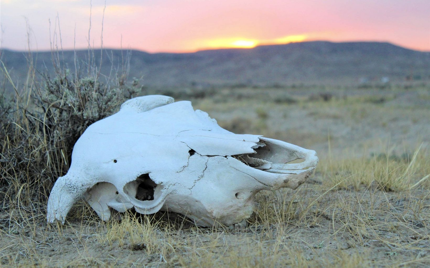 Huge dried out skull on ground at sunset.