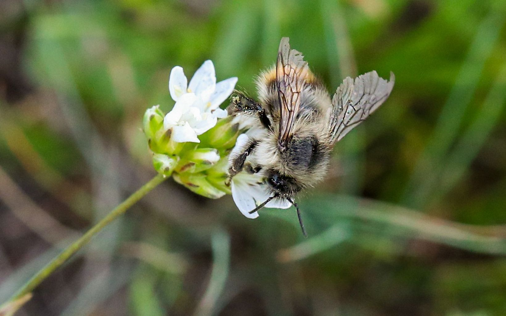 Bee getting pollen from white flower blossoms.