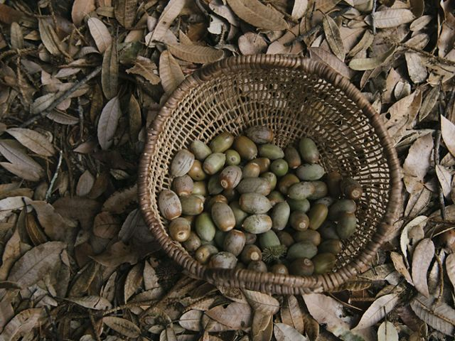 A handwoven basket full of acorns sits on a forest floor.