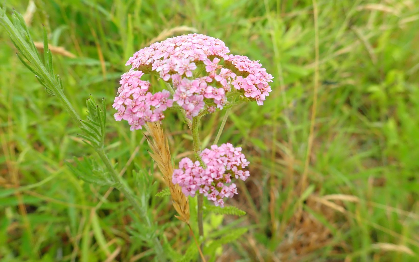 A plant with clusters of small pink flowers.