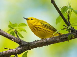 Yellow warbler perched sideways on tree limb, which is starting to leaf out
