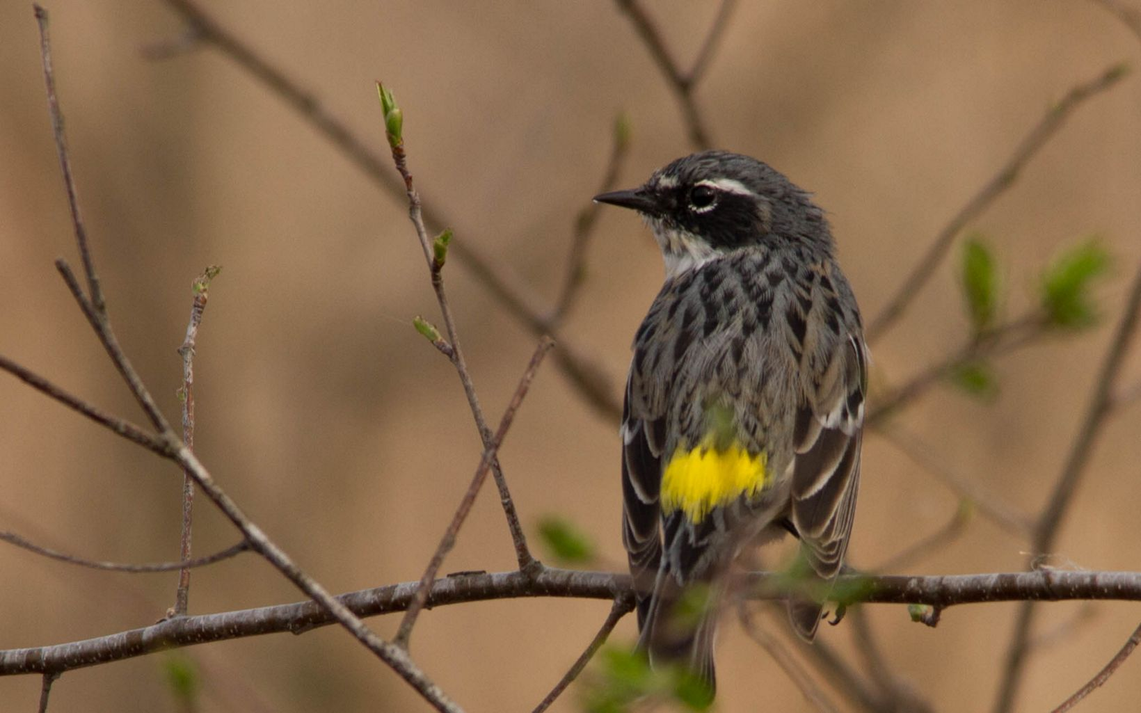 A bird with a yellow tail rests on a branch.