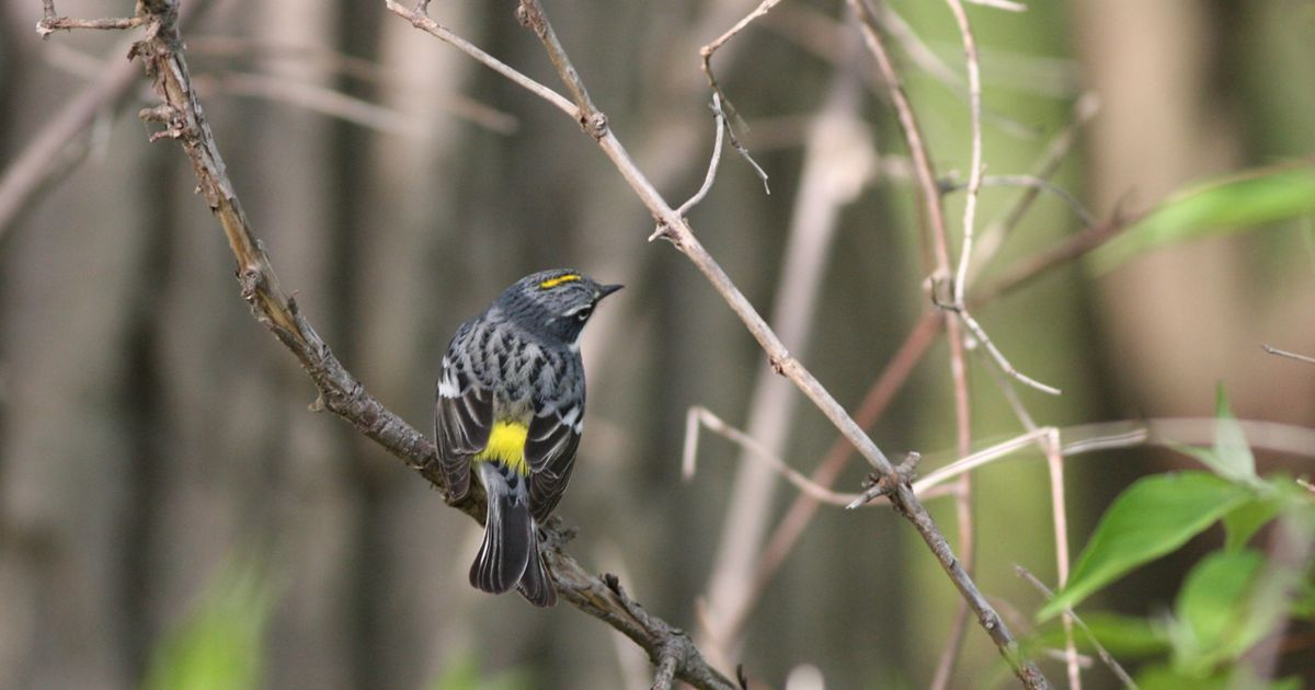 Bright yellow patches of feathers make this bird easy to identify.