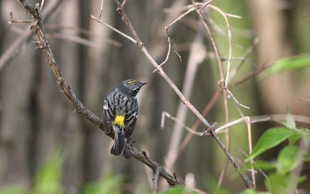 Petite gray and black bird has a sunny yellow stripe on the top of its head and a patch of sunny yellow on its back.