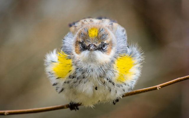 Great Ball Of Warbler