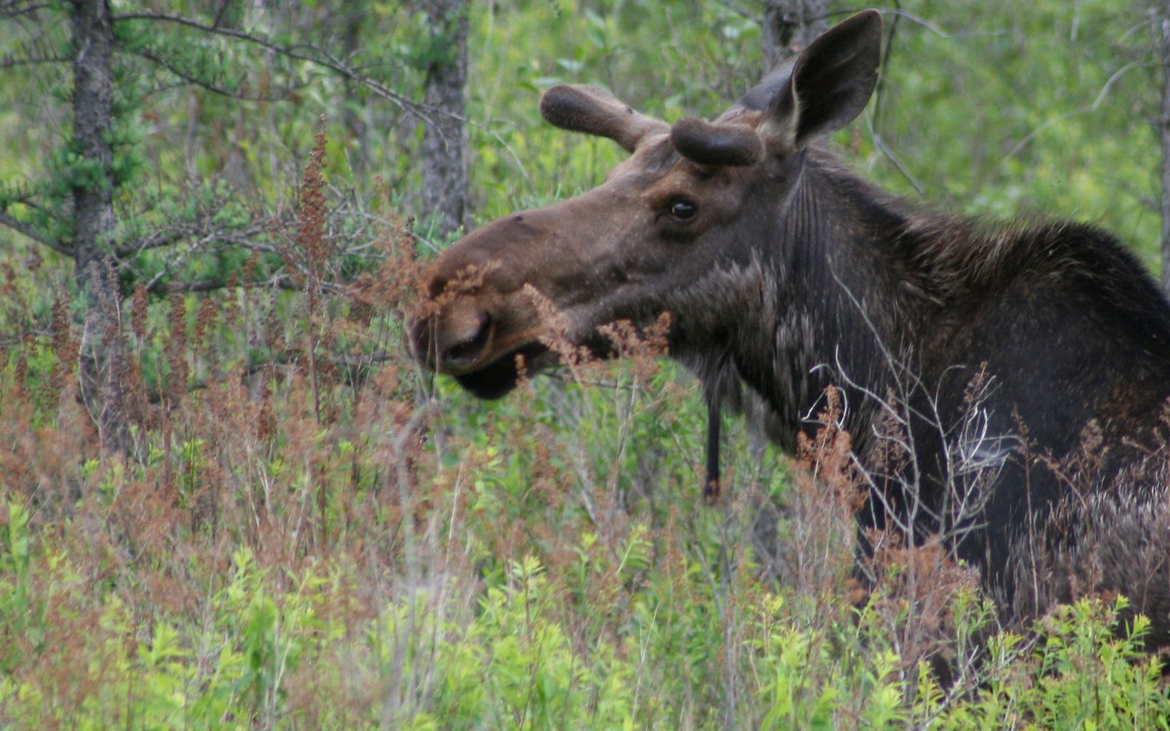 A brown moose forages in the brush of a forest.