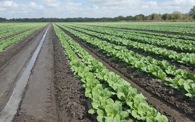 Neat rows of green cabbage on a Florida farm.