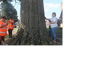 Young people measure a tree