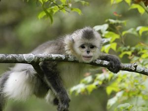 There are fewer than 2,000 Yunnan Golden (Snub-Nosed) Monkeys left in Yunnan's old-growth alpine forests. They are considered one of the most endangered primates on Earth.