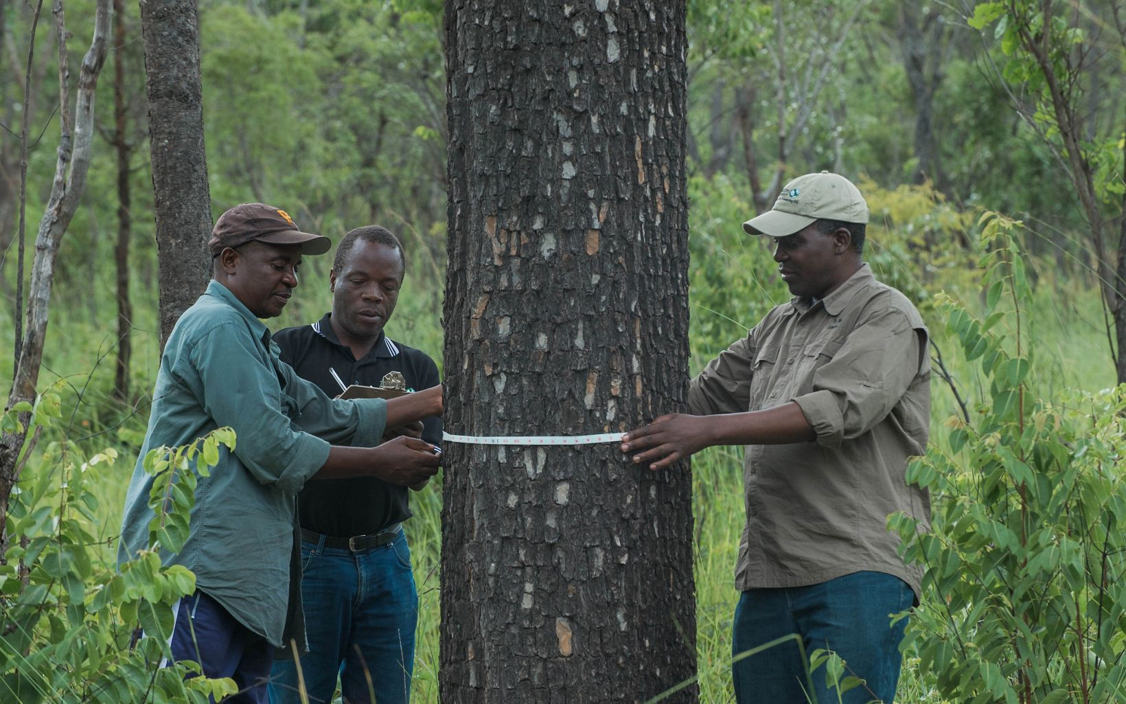 men measure a tree trunk