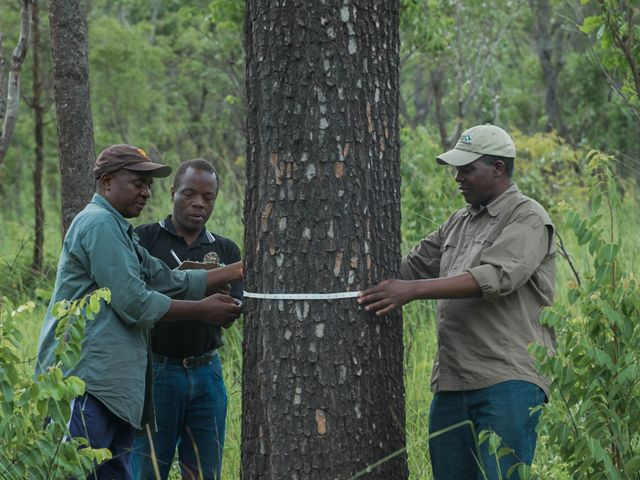 Three men measure the trunk of a tree