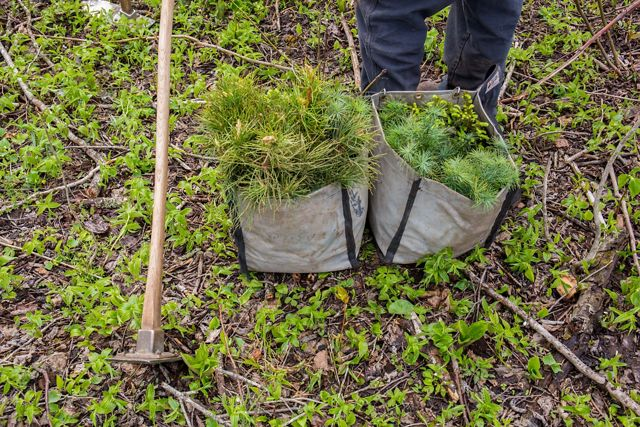 Two canvas bags of evergreen seedlings and a mattock at a person's feet on the forest floor.