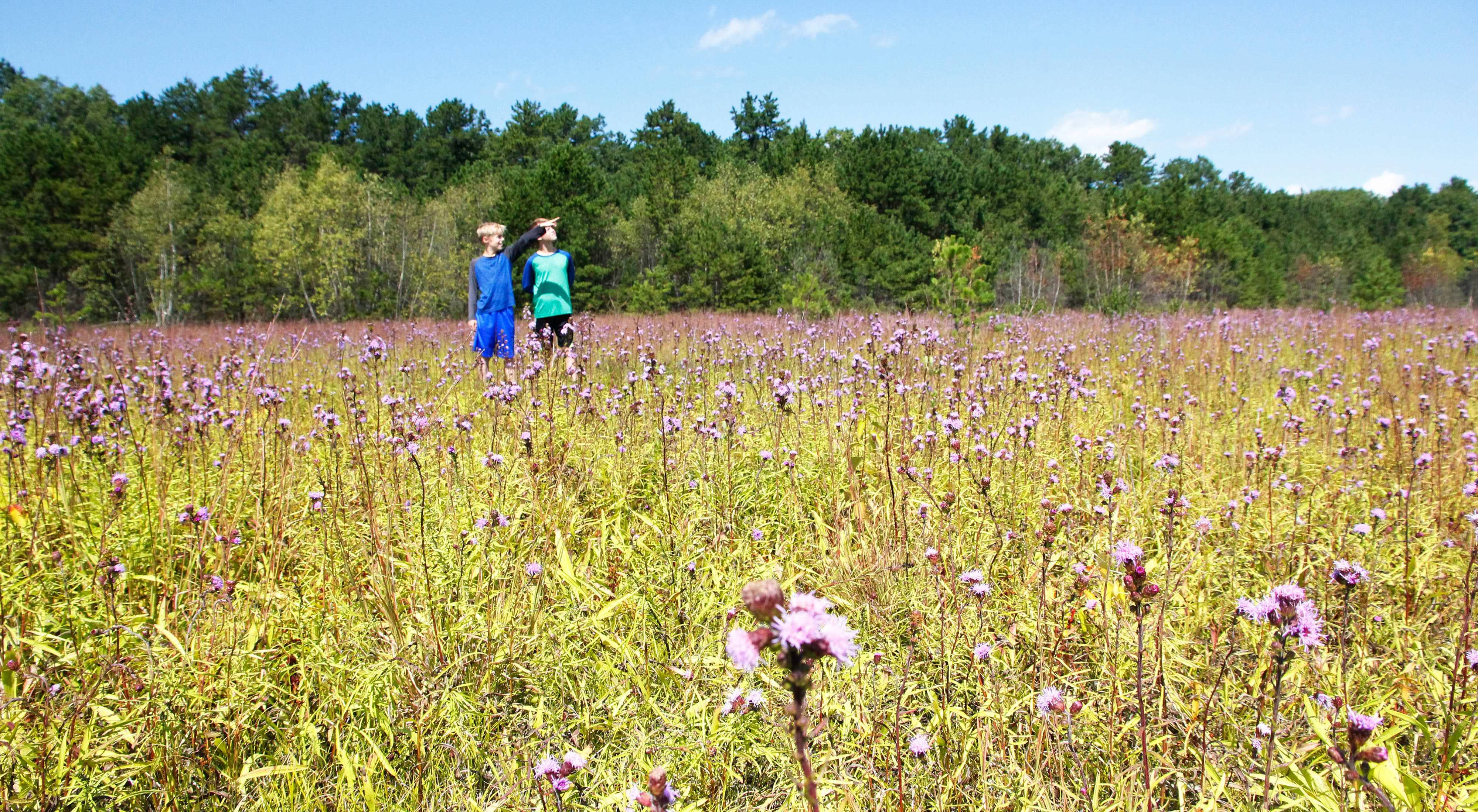 Northern blazing star in bloom at Kennebunk Plains.