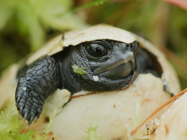 Bog turtle eggs hatch from late August through September.