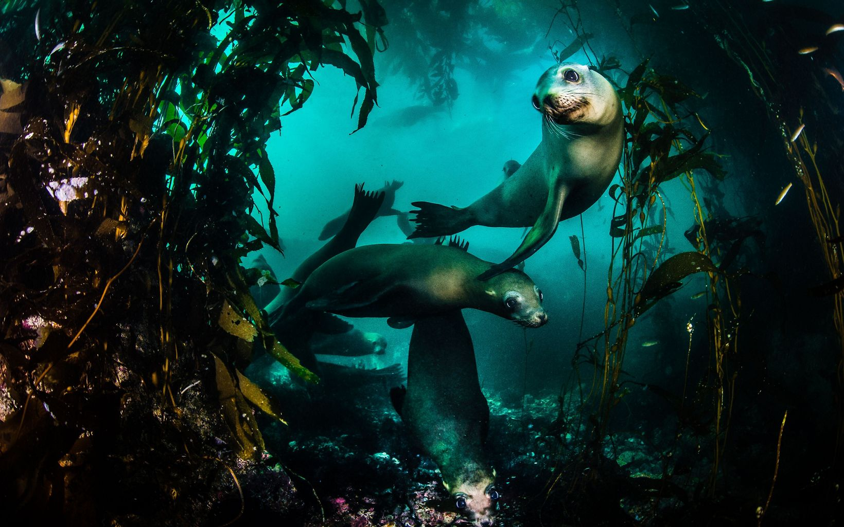 Underwater photo of sea lions swimming through a kelp forest.