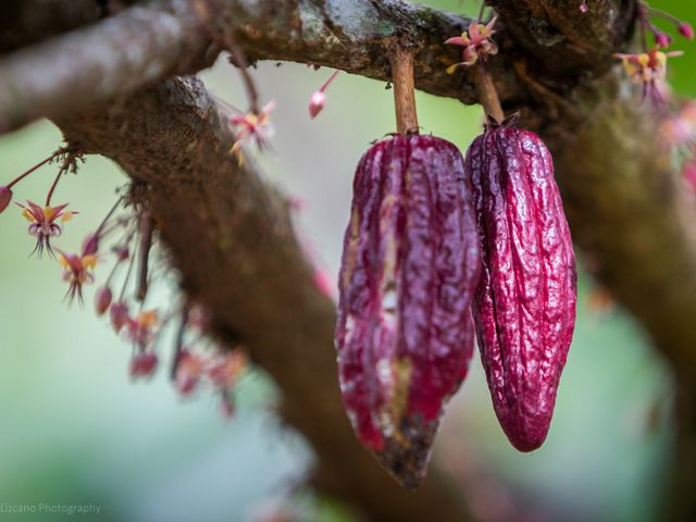 Productos como el cacao son alternativas viables para un desarrollo económico local arraigado en los paisajes amazónicos.