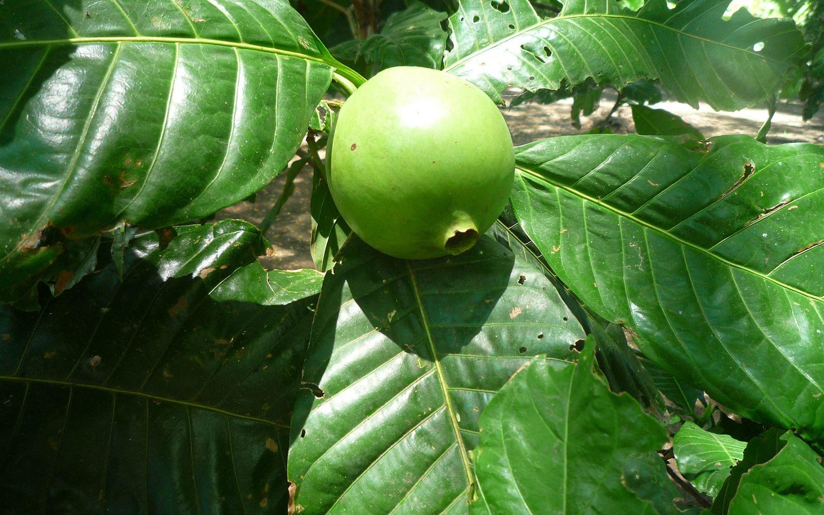Se utiliza para preparar compotas, mermeladas, caramelos, vino, y su uso popular como afrodisíaco es bastante aceptado en Colombia.