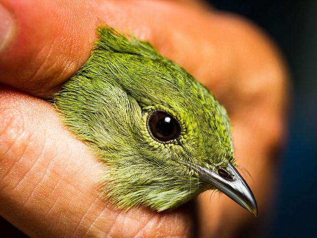 La biodiversidad es indispensable para garantizar los beneficios naturales de una finca, como el agua o la fertilidad. En la foto: un ave monitoreada en fincas ganaderas.