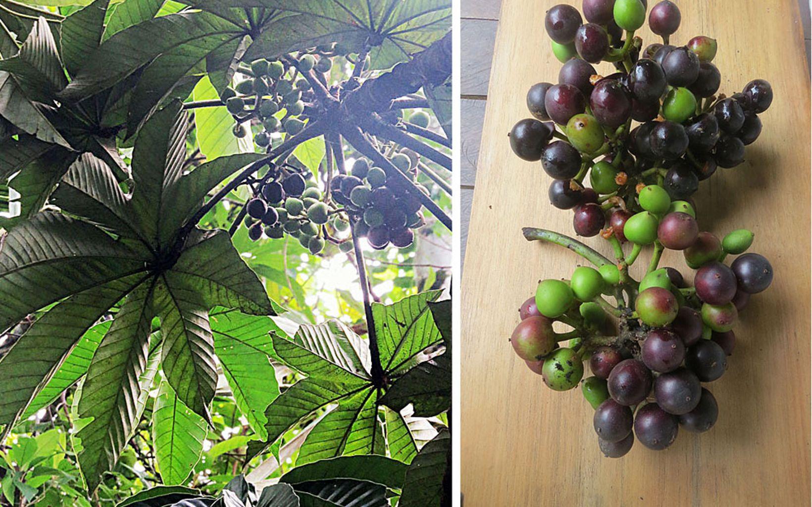 La pulpa es blancuzca, dulce y jugosa y envuelve una semilla. Se consume como fruta o se usa en la preparación de bebidas refrescantes, néctares, jaleas, mermeladas y vino.