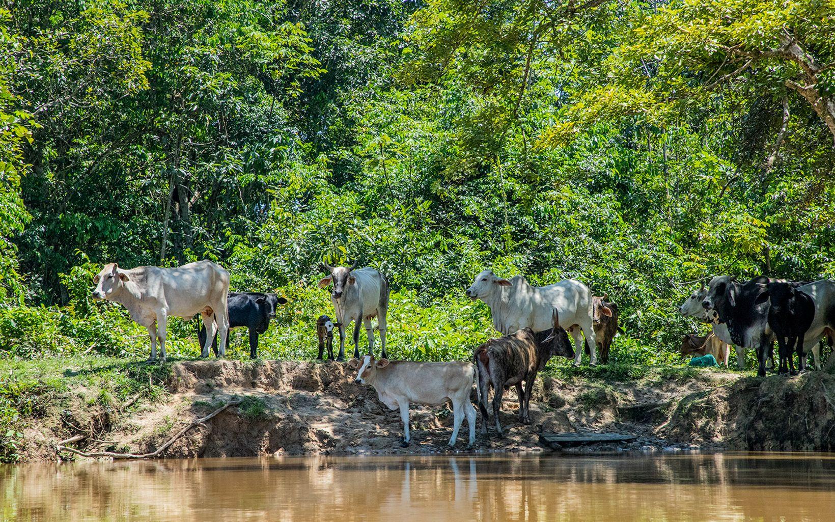 La ganadería tradicional transforma bosque para pastorear. No considera los beneficios de la naturaleza para su finca y es un problema estructural ligado a diversos factores.