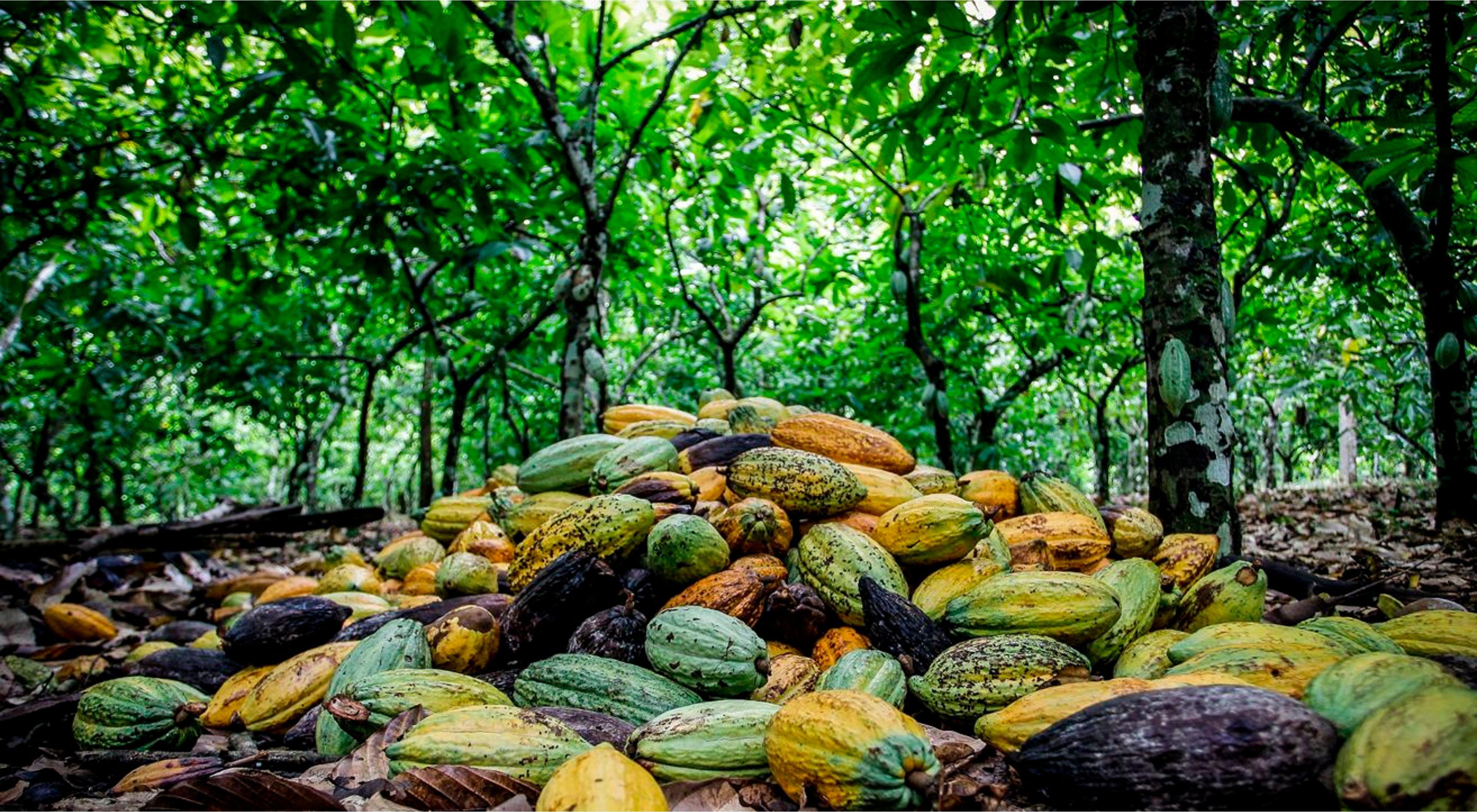 Mature cacao pods in Sao Félix do Xingu, Brazilian Amazon