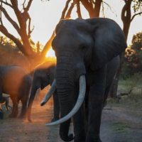 Elephant walking toward camera